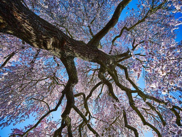 El Almendro Real en plena floración, visto desde dentro de la copa. V. M. GIBELLO