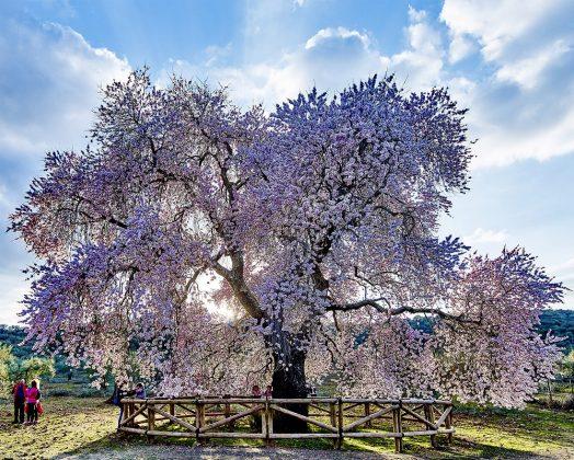 El Almendro Real en su reciengte floración. Compárese su tamaño con las personas que aparecen abajo. V.M. GIBELLO
