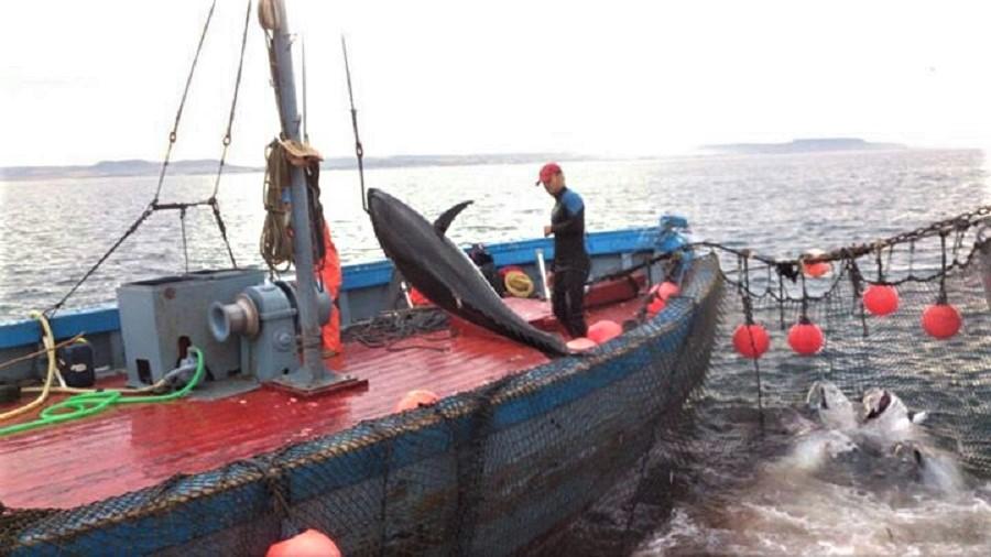 Pesca del atun rojo.