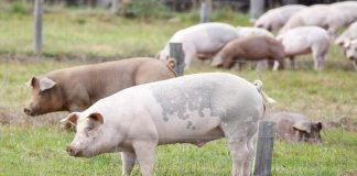 En España hay ya más cerdos que personas. RTVE