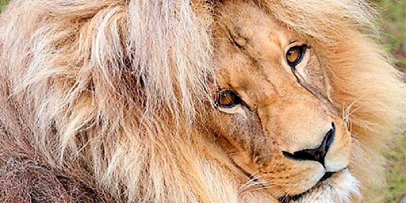 Leonas a las que les crece la melena y se comportan como leones. GVES