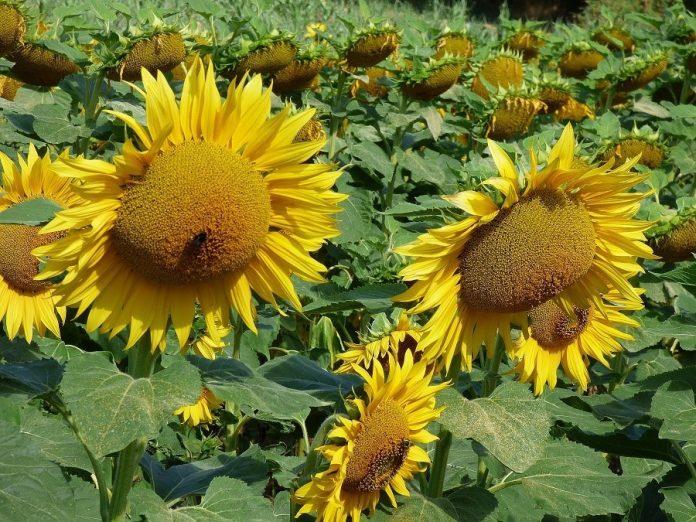 Las semillas, mejor crudas y germinadas. J.M. PAGADOR