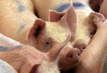 No eran cerdos. RTVE
