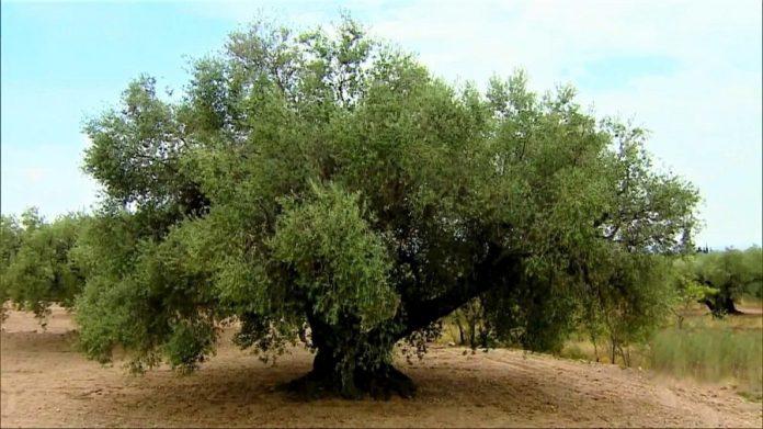 La lección del olivo. Plantar y sembrar no solo para uno mismo. RTVE