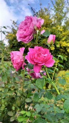 Las rosas esperan en su belleza intacta. ÁNGELA URBINA