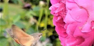 La mariposa colibrí, en plena libación del néctar de la rosa. ÁNGELA URBINA