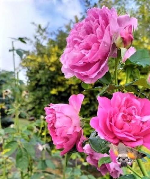 """Las rosas """"Princess Anne"""" del jardín de Ángela, con la mariposa llegando, abajo y a la derecha de la imagen. ÁNGELA URBINA"""