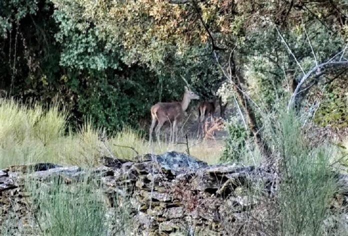 Los ciervos estaban ahí. LAURA PAGADOR DOMÍNGUEZ