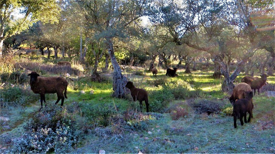 Ovejas negras pastando en el Valle de Valdeflores.